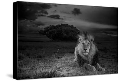 A Dark-Maned Male Lion known as C-Boy-Michael Nichols-Stretched Canvas Print