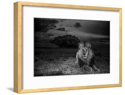 A Dark-Maned Male Lion known as C-Boy-Michael Nichols-Framed Photographic Print