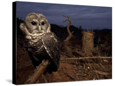 A Federally Threatened Northern Spotted Owl in a Fresh Clear Cut-Joel Sartore-Stretched Canvas Print