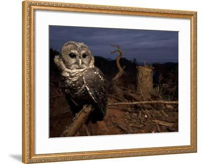 A Federally Threatened Northern Spotted Owl in a Fresh Clear Cut-Joel Sartore-Framed Photographic Print
