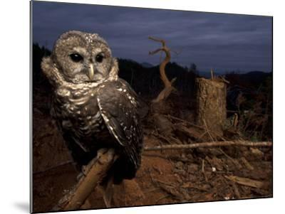 A Federally Threatened Northern Spotted Owl in a Fresh Clear Cut-Joel Sartore-Mounted Photographic Print