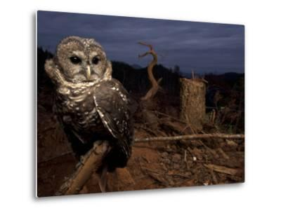 A Federally Threatened Northern Spotted Owl in a Fresh Clear Cut-Joel Sartore-Metal Print