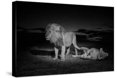 An Adult Male Lion, Hildur, and a Vumbi Female Rest after Mating-Michael Nichols-Stretched Canvas Print
