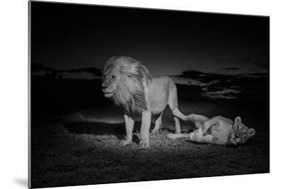 An Adult Male Lion, Hildur, and a Vumbi Female Rest after Mating-Michael Nichols-Mounted Photographic Print