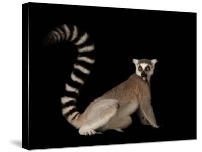 A Ring-Tailed Lemur, Lemur Catta, at the Lincoln Children's Zoo-Joel Sartore-Stretched Canvas Print