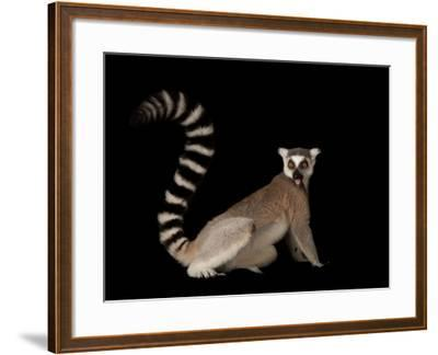 A Ring-Tailed Lemur, Lemur Catta, at the Lincoln Children's Zoo-Joel Sartore-Framed Photographic Print