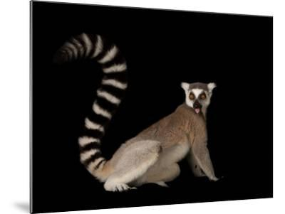 A Ring-Tailed Lemur, Lemur Catta, at the Lincoln Children's Zoo-Joel Sartore-Mounted Photographic Print