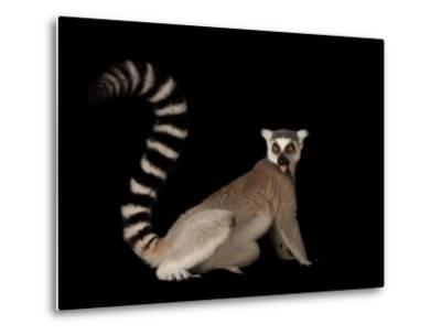 A Ring-Tailed Lemur, Lemur Catta, at the Lincoln Children's Zoo-Joel Sartore-Metal Print