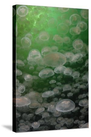 A Swarm of Moon Jellyfish, Aurelia Aurita-Jeff Wildermuth-Stretched Canvas Print