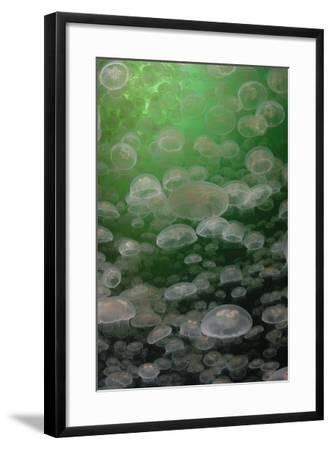 A Swarm of Moon Jellyfish, Aurelia Aurita-Jeff Wildermuth-Framed Photographic Print