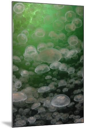 A Swarm of Moon Jellyfish, Aurelia Aurita-Jeff Wildermuth-Mounted Photographic Print