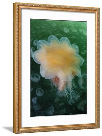 A Lion's Mane Jellyfish, Cyanea Capillata, in a Swarm of Moon Jellyfish, Aurelia Aurita-Jeff Wildermuth-Framed Photographic Print