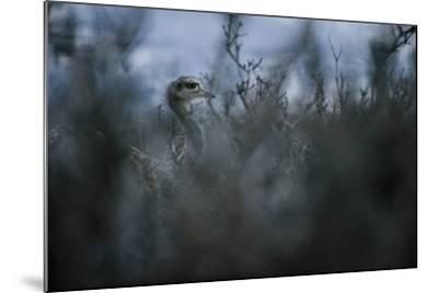 A Darwin's Rhea in Torres Del Paine National Park-Mattias Klum-Mounted Photographic Print