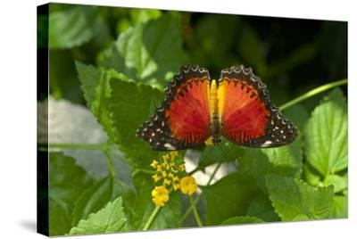A Red Lacewing Butterfly Alights on a Plant with Small Yellow Flowers-Medford Taylor-Stretched Canvas Print