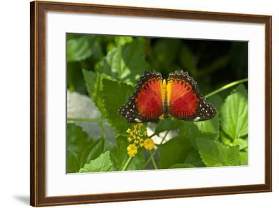 A Red Lacewing Butterfly Alights on a Plant with Small Yellow Flowers-Medford Taylor-Framed Photographic Print