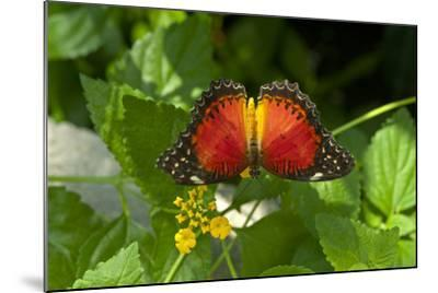 A Red Lacewing Butterfly Alights on a Plant with Small Yellow Flowers-Medford Taylor-Mounted Photographic Print