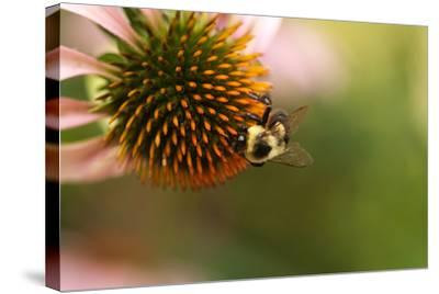 A Bee on a Coneflower-Vickie Lewis-Stretched Canvas Print