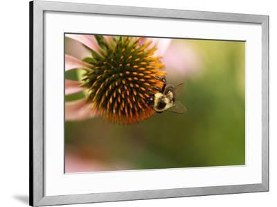 A Bee on a Coneflower-Vickie Lewis-Framed Photographic Print