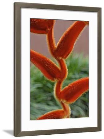 Furry Heliconia Vellerigera Flower-Kike Calvo-Framed Photographic Print