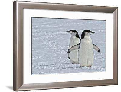 Chinstrap Penguins, Pygoscelis Antarcticus, on the Aitcho Islands-Kike Calvo-Framed Photographic Print