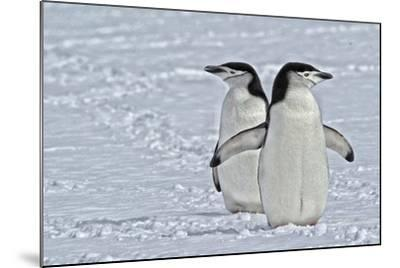 Chinstrap Penguins, Pygoscelis Antarcticus, on the Aitcho Islands-Kike Calvo-Mounted Photographic Print