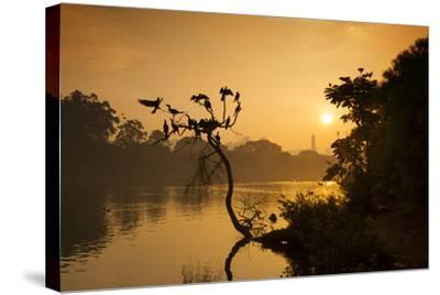 Black Vultures Sun Themselves on a Tree at Sunrise-Alex Saberi-Stretched Canvas Print