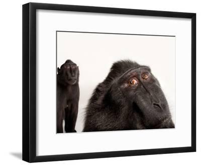 Critically Endangered Celebes Crested Macaques, Macaca Nigra, at the Henry Doorly Zoo-Joel Sartore-Framed Photographic Print