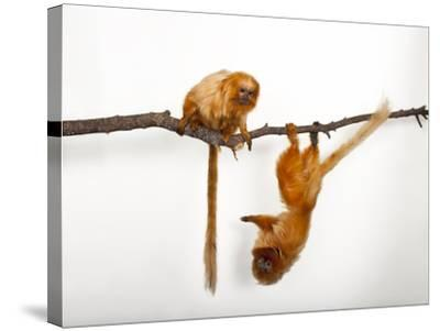 Endangered Golden Lion Tamarins, Leontopithecus Rosalia, at the Lincoln Children's Zoo-Joel Sartore-Stretched Canvas Print