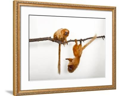 Endangered Golden Lion Tamarins, Leontopithecus Rosalia, at the Lincoln Children's Zoo-Joel Sartore-Framed Photographic Print