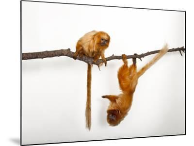 Endangered Golden Lion Tamarins, Leontopithecus Rosalia, at the Lincoln Children's Zoo-Joel Sartore-Mounted Photographic Print