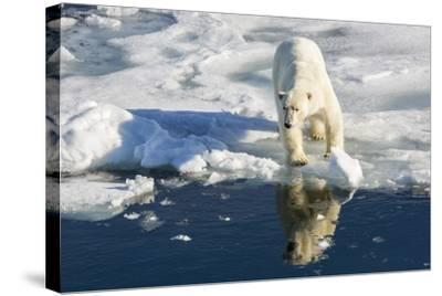 Young Adult Polar Bear (Ursus Maritimus) on Ice in Hinlopen Strait-Michael Nolan-Stretched Canvas Print