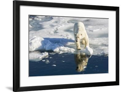 Young Adult Polar Bear (Ursus Maritimus) on Ice in Hinlopen Strait-Michael Nolan-Framed Photographic Print