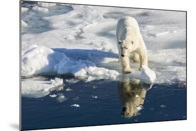 Young Adult Polar Bear (Ursus Maritimus) on Ice in Hinlopen Strait-Michael Nolan-Mounted Photographic Print
