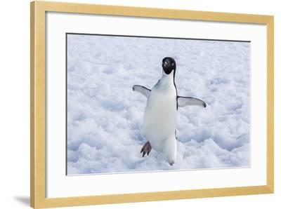 Adelie Penguin (Pygoscelis Adeliae)-Michael Nolan-Framed Photographic Print