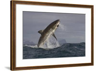 Great White Shark (Carcharodon Carcharias)-David Jenkins-Framed Photographic Print