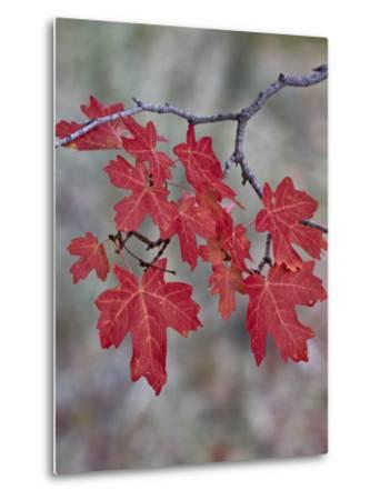 Red Leaves on a Big Tooth Maple Branch in the Fall-James Hager-Metal Print