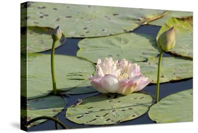 About Lotus Flower In Tamil Flowers Healthy