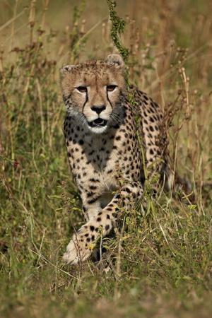 Cheetah (Acinonyx Jubatus), Kruger National Park, South Africa, Africa-James Hager-Framed Photographic Print