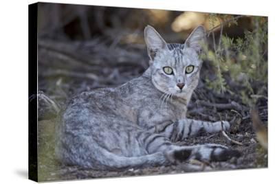 African Wild Cat (Felis Silvestris Lybica)-James Hager-Stretched Canvas Print