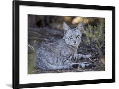 African Wild Cat (Felis Silvestris Lybica)-James Hager-Framed Photographic Print