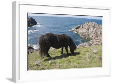 Ponies on Bryher, Isles of Scilly, Cornwall, United Kingdom, Europe-Robert Harding-Framed Photographic Print