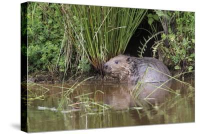 Eurasian Beaver (Castor Fiber), Captive in Breeding Programme, United Kingdom, Europe-Ann and Steve Toon-Stretched Canvas Print