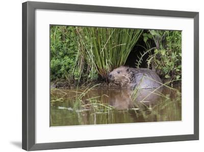 Eurasian Beaver (Castor Fiber), Captive in Breeding Programme, United Kingdom, Europe-Ann and Steve Toon-Framed Photographic Print