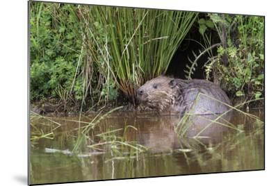 Eurasian Beaver (Castor Fiber), Captive in Breeding Programme, United Kingdom, Europe-Ann and Steve Toon-Mounted Photographic Print