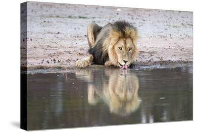 Lion (Panthera Leo) Drinking, Kgalagadi Transfrontier Park, South Africa, Africa-Ann and Steve Toon-Stretched Canvas Print
