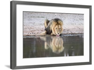 Lion (Panthera Leo) Drinking, Kgalagadi Transfrontier Park, South Africa, Africa-Ann and Steve Toon-Framed Photographic Print