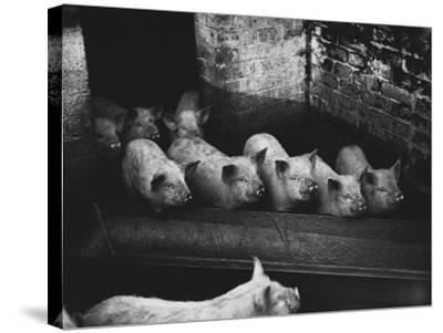 Pigs--Stretched Canvas Print