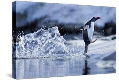 Leaping Gentoo Penguin, Antarctica--Stretched Canvas Print