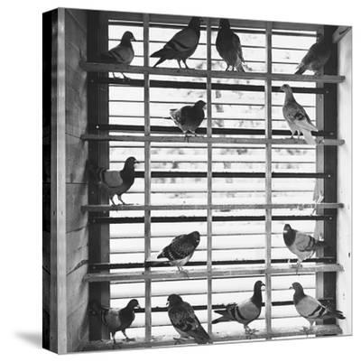 Young Pigeons in a Loft--Stretched Canvas Print