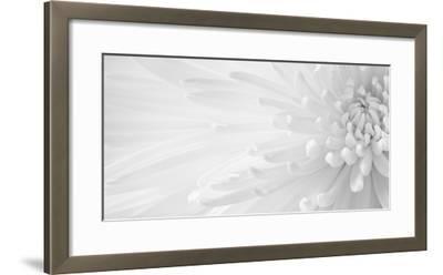 Gentle Crysanthumum 1-Doug Chinnery-Framed Photographic Print
